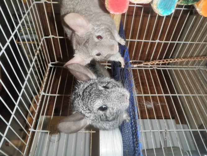 2 cute chinchillas cage dust bath all accs,need good home
