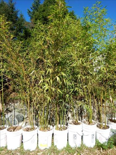 Clumping Bamboo in 5 Gallon Buckets