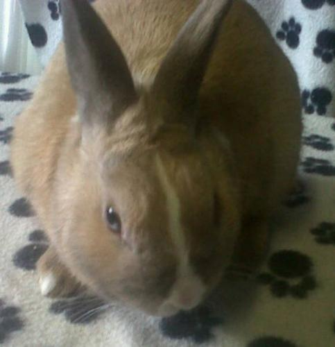 Tan Dwarf Bunny - Free to Good Home