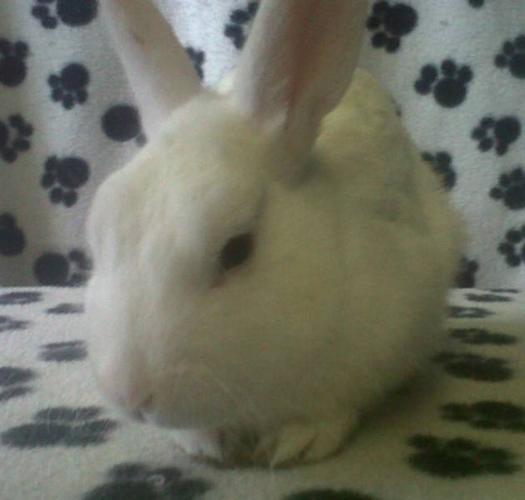 White Dwarf Bunny - Free to Good Home