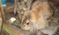 Two big lop eared Holland rabbits with huge outdoor cage for sale - great Christmas gift. Male / Female - male is fixed. Short haired rabbit has adjoining cage and he is also fixed. Looking for good home - friendly rabbits. Cage has new shingled roof and