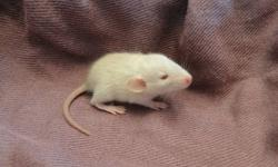 I have 2 baby girl rats to find homes for.  They are 3.5 weeks old.  They should be ready for a new home by 6 weeks.    Their Mom is a very friendly, healthy rat.  She gets along well with other rats as I have a second girl.  The babies have been held