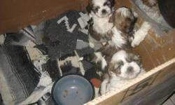 There are 5 beautiful Shih Tzu puppies, that are tri-colour, have had their first shots de-wormed and have been vet checked. They are very playful and mom is on site. There are 4 boys and 1 girl. They are tiny ranging from 2.1 to 2.8 lbs they will not get