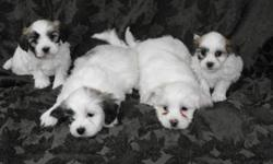 Really cute, non-shedding, small puppies! They make an excellent family pet and are very good with small children. There are three males and only one female shown on the far right of the picture. They are Bichon Frise X Shih Tzu They will go home with