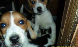 We are still looking for forever loving homes for beautiful Beagle Puppies.. Both parents are CKC Registered.. Pups will be provided with their first NEEDLES along with being DE-WORMED. LITTER PAPERS will also be provided. For FEMALES $200. MALES $250. If