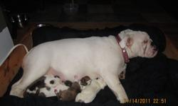 english /valley bulldogs for sale . serious inquires only as we are looking for the best possible home for them.the mother is a purebreed english bulldog and the father is purebreed valley bulldog ..both are very excellent mild tempered dogs . The pups