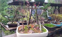 Japanese Maple Bonsai grouping planted in a 23 x 19 x 4 inch glazed Bonsai pottery tray, 9trees in the group, ready for wiring and final shaping, 1 only available for 295.00 @ Peninsula Flowers Nursery 8512 West Saanich Rd. 250 652 9602 Opening hours on