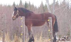 3 yr old  filly Paint/Clyde cross. 14 hands, has been handled daily but has not been trained for saddle or harness , very easy and willing , good with her feet and in the barn and with others, will train very easy,should mature to 15 hands   902 686 3709