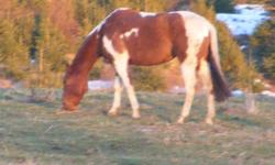 Sidhe Bheg is an eight year old quarter horse mare. Her coloration qualifies her to be a Paint, as well. She is 15.1 hands high and possesses the barrel chested, stocky build of good range and barrel horses. She is trained to ride Western saddle and also