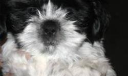 Beautiful Shih Tzu Puppy!   We have 1 Beautiful Shih Tzu puppy that was born on November 25, 2011.   She is black and white. She is home raised, vet checked, first shots, and de-wormed.   She is very affectionate and playful. She will provide you with