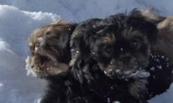 These little ones are an F1 generation Toy Shorkie - Meaning mom is a pure Shih-Tzu (8 lbs) and dad is a pure T-cup Yorkie (3.5 lbs). These puppies will be between 4 - 8 lbs full grown. They are an excellent addition to the family as they are smart,